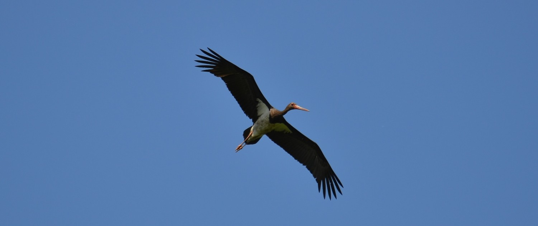 crna storklja