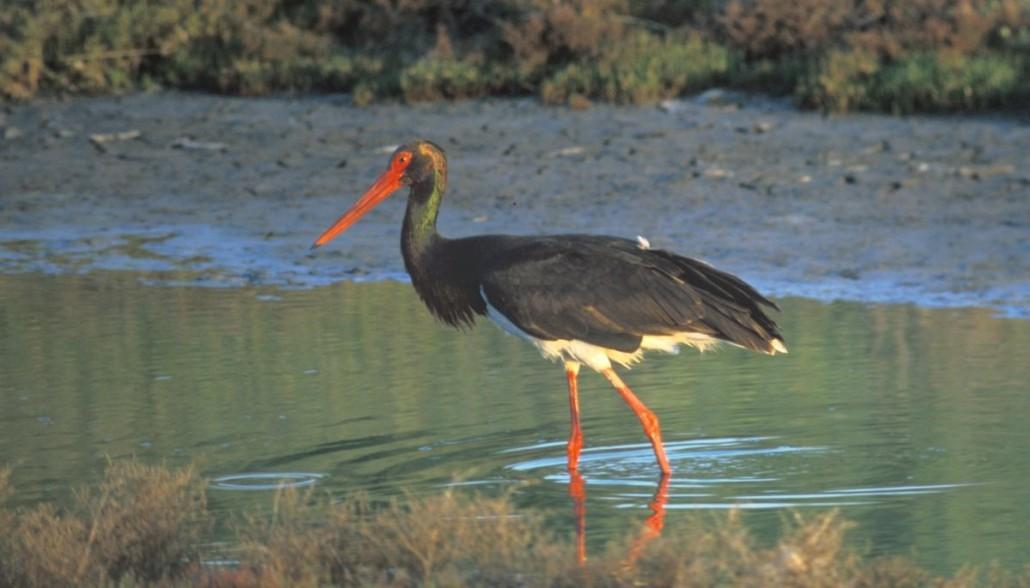 crna storklja-Piet Munsterman