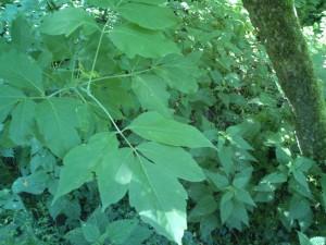 Amerikanski javor (Acer negundo) je vsiljivec v prekmurskih gozdovih