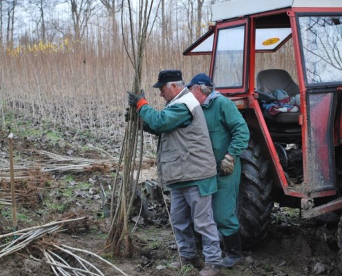 Priprava sadik za prevoz v Mursko šumo
